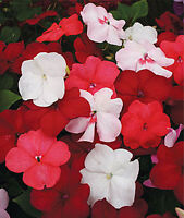 Impatiens Xtreme Summer Berrie Seed Annual Indoor Outdoor No Frost Mixed Colour