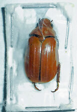 Chrysina TRICOLORE * Red-Brown forma * Mexico