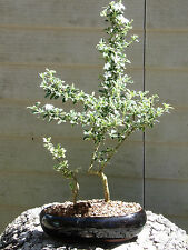 Mount Fuji Serissa Snow Rose Bonsai Tree  Flowers #35