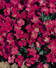 PERENNIAL FLOWER AUBRETIA GRACILLIS ROCK CRESS ROYAL RED 0.15 GRAM
