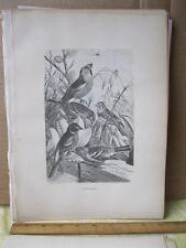 Vintage Print,FINCHES,Birds, Mitzel, C.1885