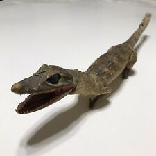 Baby Stuffed Alligator Taxidermy Scales Lifelike Realistic Reptile Decor Wild