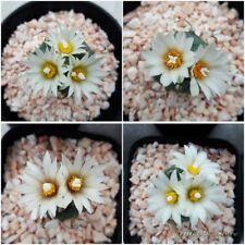 Cactus Rare Turbinicarpus Seeds Mixed succulent garden : 50 seeds