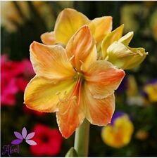 4 Bulbs -  Amaryllis Bulbs,True Hippeastrum Bulbs Flowers (Not Seeds)
