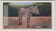 African Zebra Social Equine 1930 Trade Ad Card