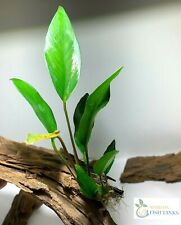 *BUY 2 GET 1 FREE* Anubias Frazeri Anubias Aquatic Plants Live Aquarium Plants ✅