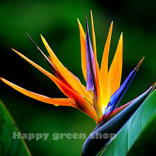 STRELITZIA - BIRD OF PARADISE - 5 SEEDS - Tropical plant - Perennial