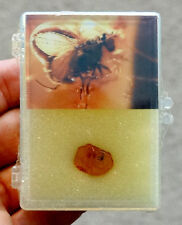 Russia FOSSIL INSECT in BALTIC AMBER Fly Inclusion / Fossilized in DISPLAY CASE