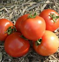 100 Organic Early Girl Tomato Seeds Home Garden Vegetable Seed Fast Free Ship