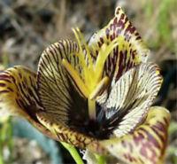 2 Perennial Iris Bulbs Flower Bonsai Planting Garden Reblooming Roots Fragrance