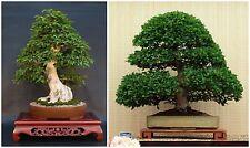 50 seeds of Carpinus turczaninowii, Korean Hornbeam, bonsai seeds  C