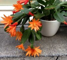 Rhipsalidopsis Gaertneri Orange Talee, Cuttings - 4 Double Segments