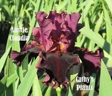 Tall Bearded Iris ~ Auntie Claudia ~ Additional wins ship $1.25 each