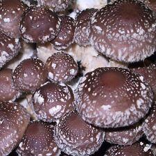 Lentinula edodes 3782 (shiitake strain 3782) mushroom liquid culture 12cc