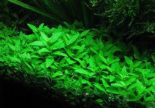 Staurogyne repens Tropica - Live Aquarium/Fish Tank Plant