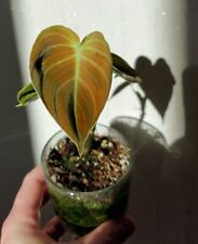 Philodendron melanochrysum Rare Aroid