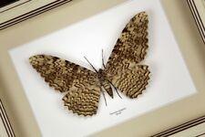Cadre Véritable Papillon , Thysania agrippina ,décoration,cadeau,,taxidermie