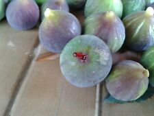 Exclusive ! : 5 Fresh Cuttings Fig Tree Corio Provence !