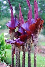 voodoo lily Amorphophallus, konjac -1- dormant BULB Hardy