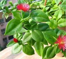 100 pcs/lot andrographis seeds edible andrographis paniculata medicinal