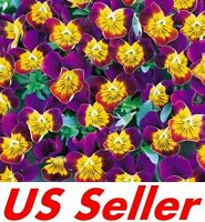 50 Seeds, MINIOLA PURPLE HEART VIOLA SEEDS G34, Bi-Color Flower Perennial