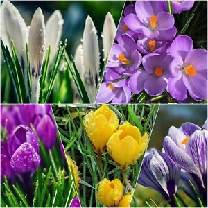 CROCUS BULBS Large Spring Flowering Plant with Snowdrops