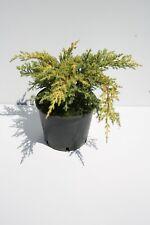 6 pianta tappezzanti di ginepro: juniperus old gold alta 20cm doppia talea