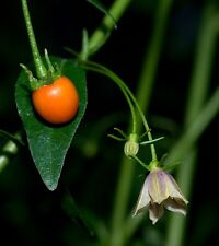 CAPSICUM LANCEOLATUM pure seeds, rare wild chili