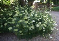 Cenolophium denudatum - 3 Belgravia Cow Baltic Parsley Umbel Plants in 9cm Pots