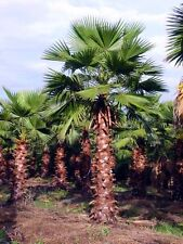 Washingtonia Robusta-Hardy Tropical Mexicano Ventilador Palm Tree - 10 exóticos Semillas