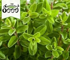 MARJORAM - Sweet (2000 Seeds) FRAGRANT CULINARY HERB Aromatic Ground Cover BULK