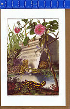 ROSEL: Newt, Gren & Brown Frogs and Natterjack Toad  - Natural History Print