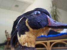 New listing Antique Duck Taxidermy Bird Mount