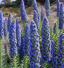 8 graines  de VIPERINE DE MADERE(Echium Fastuosum)G447 SEEDS SAMEN SEMI SEMILLA
