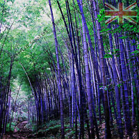 RARE Purple Bamboo, Timor Bambusa Lako - 20 Viable Seeds -  UK SELLER