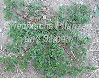 🔥  wilder Portulak 50 frische Samen  Salat und Gewürzpflanze Kräuter