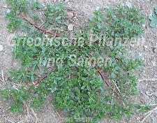wilder Portulak 50 frische Samen  Salat und Gewürzpflanze Kräuter