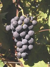 Grape Seeds - ALPHONSE LAVALLÉE - Black Seeded Fruit - Organic  - 15 Seeds