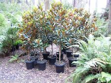"Magnolia grandiflora ""Little Gem' in a 30cm pot LARGE."