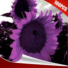 100pcs seltene lila Sonnenblumenkerne wunderschöne Blumen Garten Dekoration