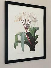 Crinum Erubescens - Georg Ehret  - Vintage Botanical print - 20''x16''