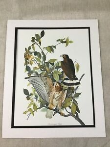 1964 Print Broad Winged Hawk Bird Audubon's Book of Birds of America LARGE