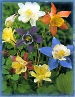 Columbine- McKana's Giant Mix- 50 Seeds - BOGO 50% off SALE