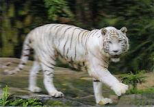 Ansichtskarte rennender Amur sehr schöne Aufnahme! Tiger in der Tundra