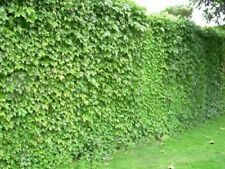 Climber seed - Japanese Creeper 40 seeds Boston ivy Grape ivy woodbine perennial