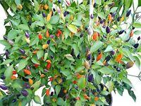 10 Samen Numex Twilight bunte  mittelscharfe Chilli Chilisamen Regenbogen-Chili