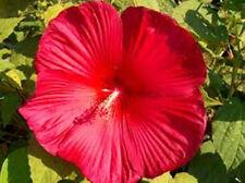 Hibiscus moscheutos RiesenHibiskus 50 Sa. Sumpfeibisch riesige Blüten winterhart