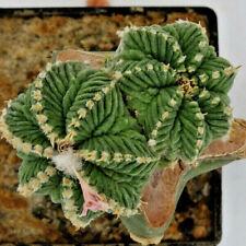 Kakteen – Kaktus – Aztekium ritterii gepfropft etwa 2 mal 2cm - schöne Pflanze