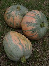 Pumpkin BOHEMIAN- Pumpkin Seeds-RE-DISCOVERED AUSSIE HEIRLOOM-16 SEEDS.