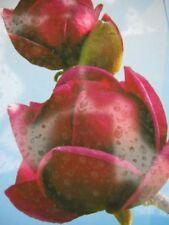 Magnolie Genie - Magnolia - Tulpenbaum - Blütengehölz - duftend